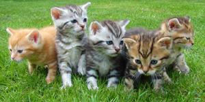 kittens-cat-cat-puppy-rush-45170-300