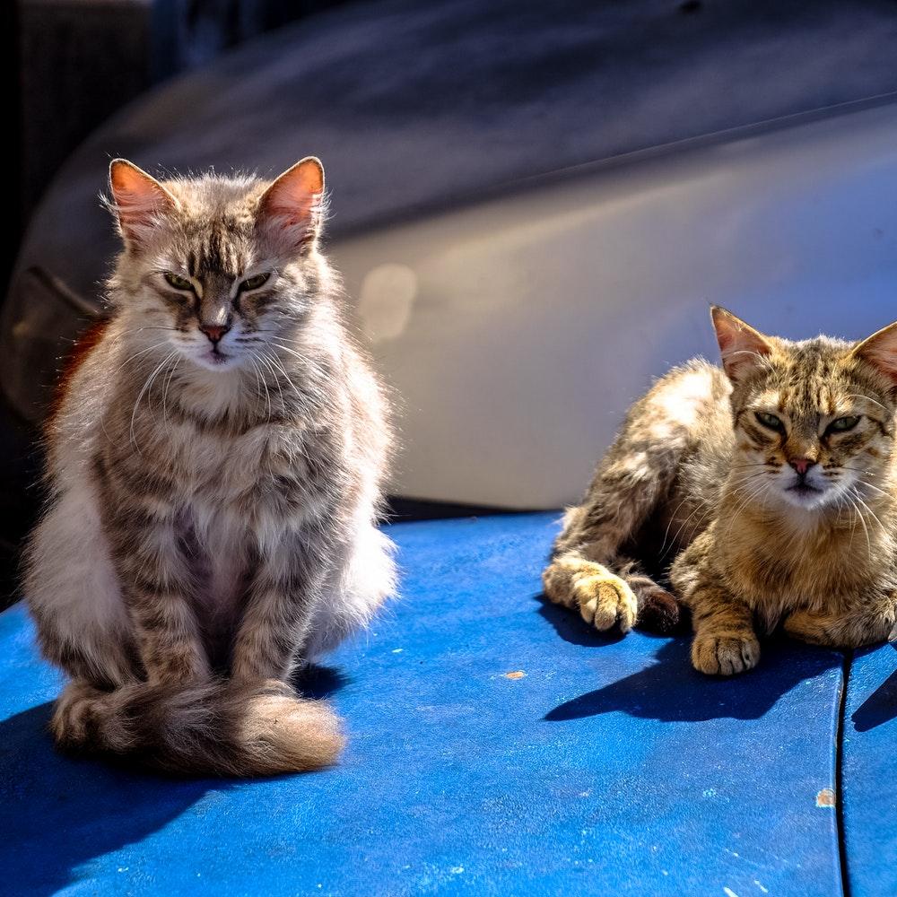 ボンネットの上の猫画像