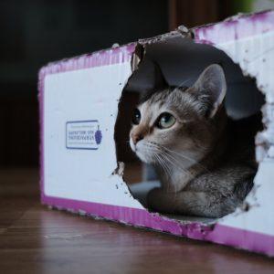 段ボールの中の猫の画像