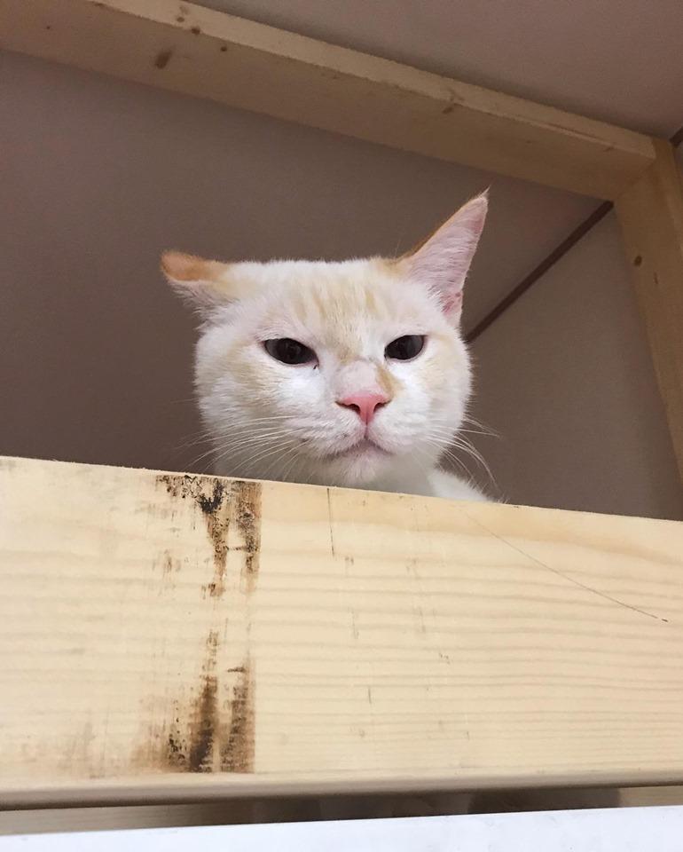 ねころびスタッフ猫|大福
