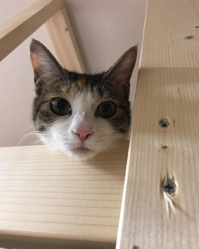 ねころびスタッフ猫|ティラミス