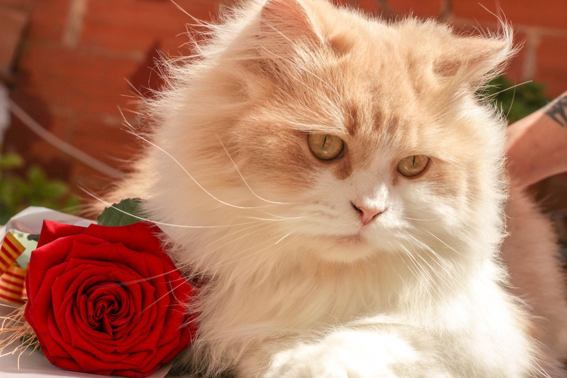 猫とバラの画像