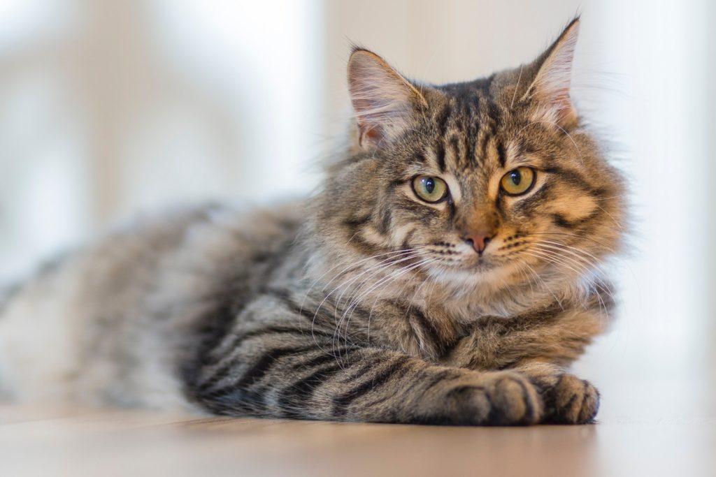 見つめる猫の画像