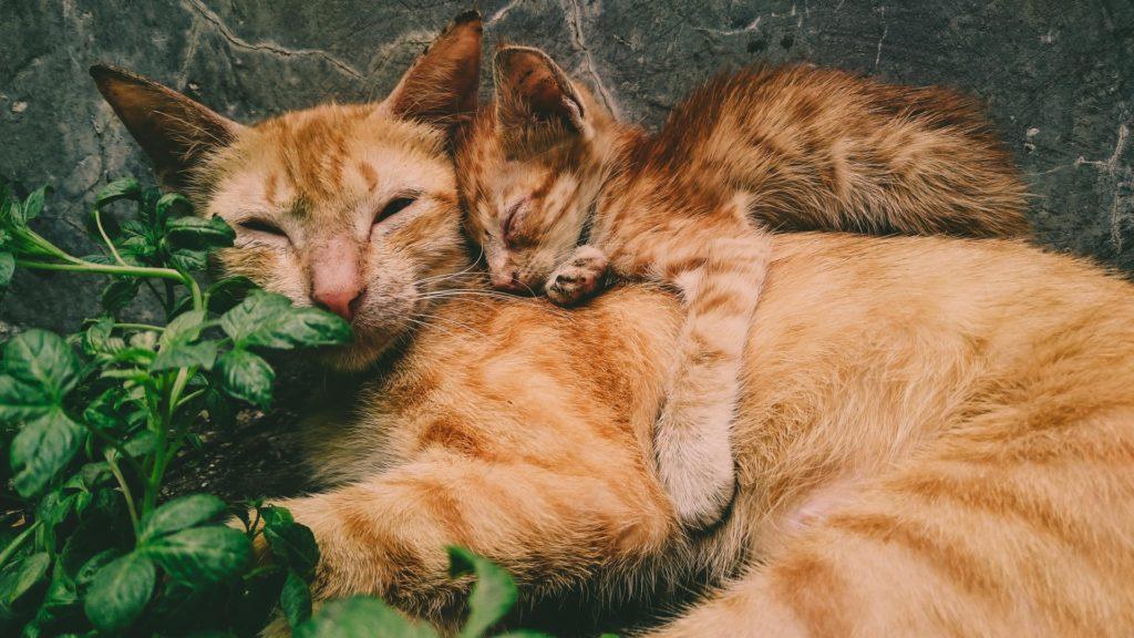 親子の猫画像